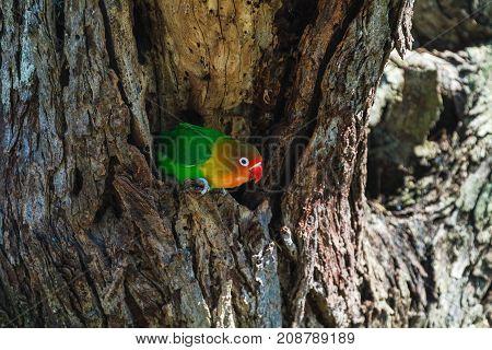 Lorikeet near the nest. Tanzania, Eastest Africa
