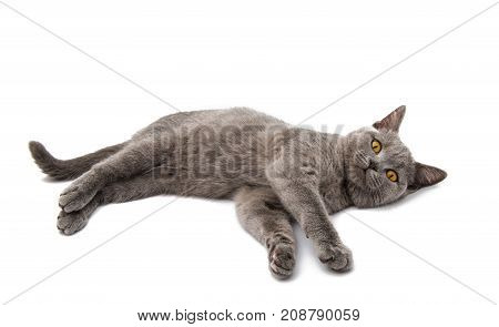 British cat animal on the white background