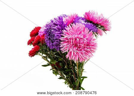 Colorful aster flowers isolated on white background