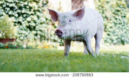 Baby pig piglet enjoying nature on grass