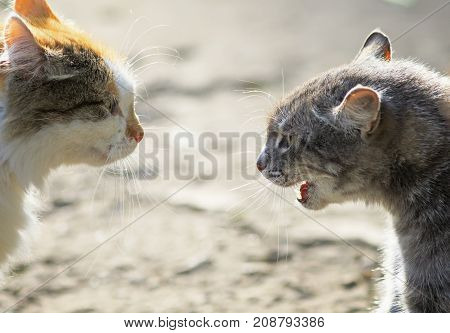 confrontation of two aggressive cats facing each other hiss at each other