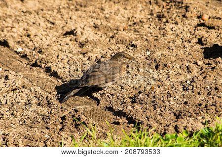 Common blackbird standing in a garden with beak full