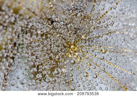 Abstract macro photo of a dandelion with water drops on a black background. Rain drops on a spider web..