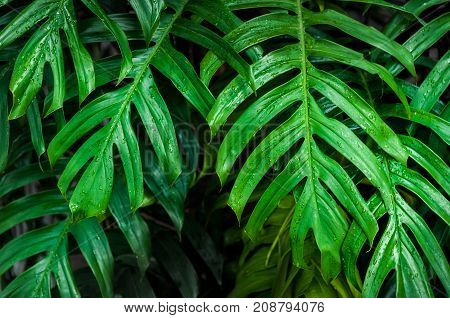 Wet green monstera leaves in dark background. Monstera is a genus of about 50 species of flowering plants. They are herbs or evergreen vines growing in trees commonly grown indoors as houseplants.