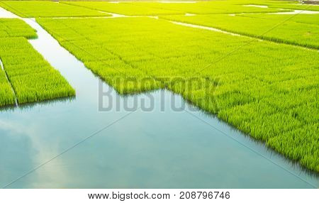 young rice tree in the rice field