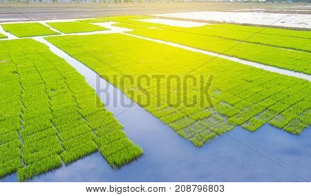Young Rice Tree In The Field