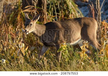 White-tailed buck eating in a field of tall grass at sunrise.