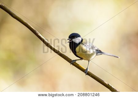 an coal tit sitting on the branches of a bush resting