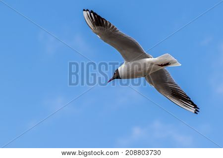 Sterna tern in flight against a beautiful blue sky with clear detail