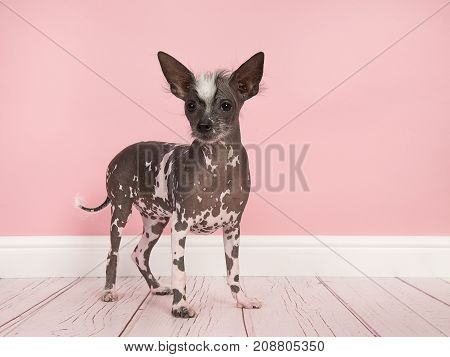 Cute chinese crested puppy dog standing seen from the side and facing the camera on a pink living room setting