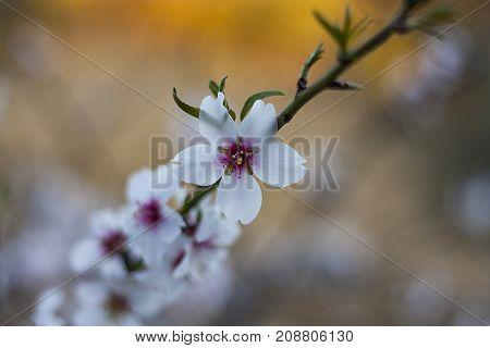 Flor de almendro en primavera al amanecer