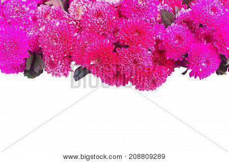 magenta pink chrysanthemum flowers border isolated on white background