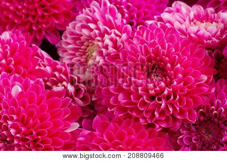 magenta pink chrysanthemum flowers close up macro background