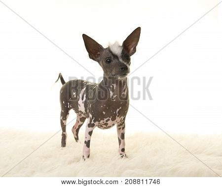 Chinese crested puppy dog standing on a white fur looking away from the camera on a white background