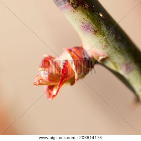 Red Leaves On A Tree Branch In The Spring