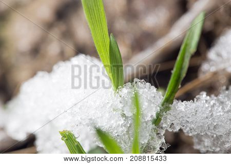 snow on the green grass in the spring. close-up
