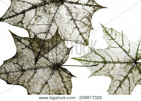 natural backdrop of the hollow transparent weightless skeletons of maple leaves isolated on white