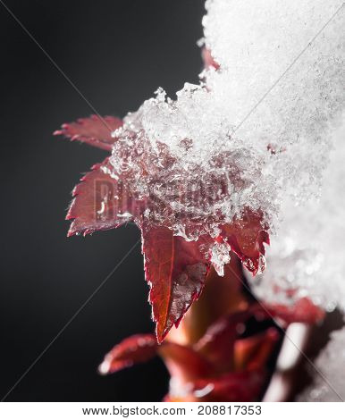 Red Leaf In The Snow In The Spring. Close-up