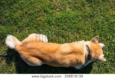 Red Dog Lying On The Green Lawn