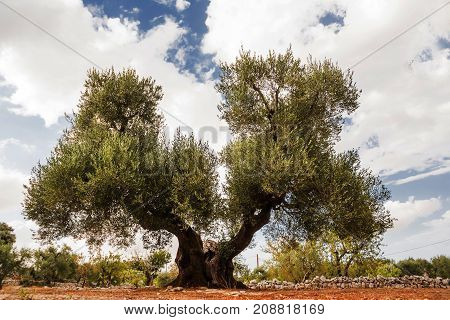 Tree of olive secular with double hair