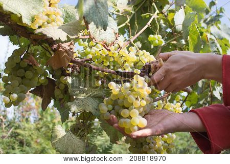 Branches of White wine grapes growing in Georgian fields. Close up view of fresh red wine grape in Georgia. Vineyard view with big White grape growing. Ripe grape growing at wine fields. Natural grapevine