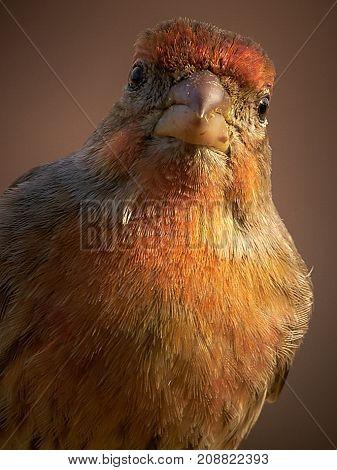 Small red bird closeup sitting on birdfeeder
