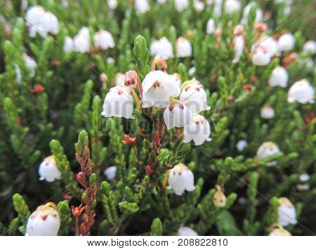 Close up of western moss heather and white mountain heather (Cassiope mertensiana), taken in Banff National Park, Canada, Rocky Mountains