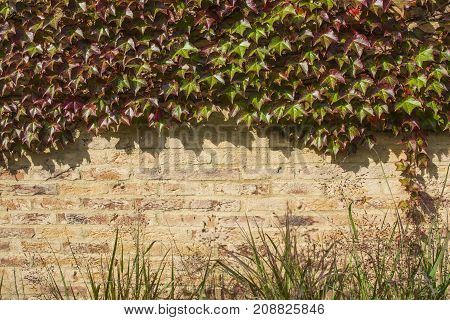 Brick wall is covered with autumn grape green and red leaves