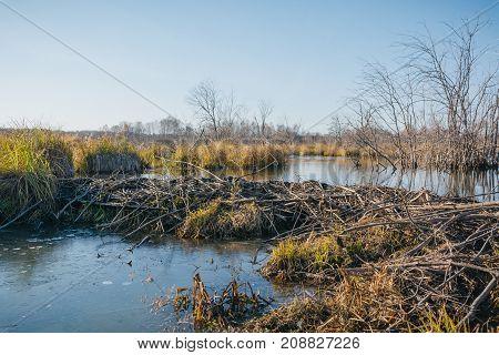 Beaver Platinum. The Beaver Has Made A Dam.