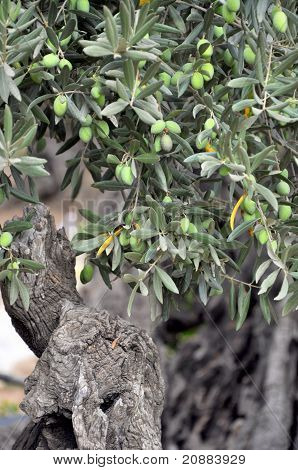 Ancient olive tree with green fruits