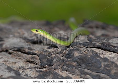 The rough green snake is a highly arboreal species commonly found in dense vegetation.
