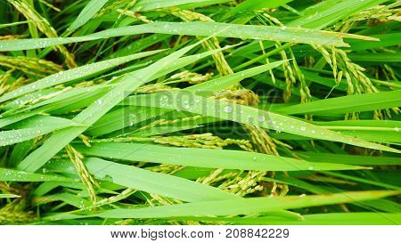 green rice with water drop in nature.