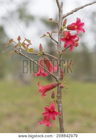 Australian native flowers of Brachychiton bidwillii commonly known as little Kurrajong blooming in Spring