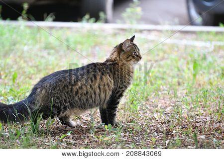 Siberian Cat Breed