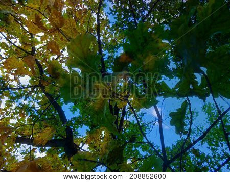 Thin Young Trunk Of Oak, Through The Branches With Bright Yellow Leaves Light Breaks Through.