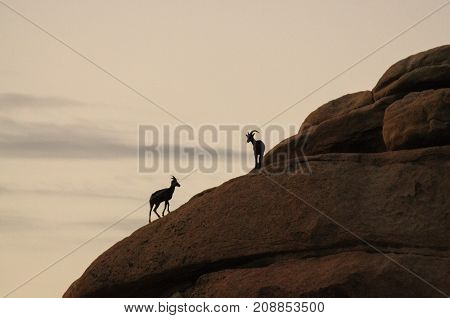 A group of Desert Bighorn sheep are standing in silhoutte on a rock in Joshua Tree National Park, before decending down into the Valley.