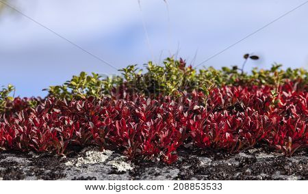 Alpine bearberry, mountain bearberry on a cliff, rock. Colorful leaves, autumn.