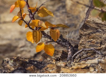Closeup, macro of a very small birch on lean soil, ground. Colorful leaves.