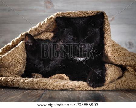 Very similar black cat and the kitten sleep hiding under a warm blanket