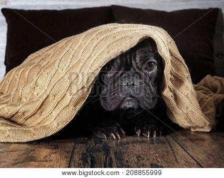Amazing dog face. Bulldog funny hid under a warm blanket