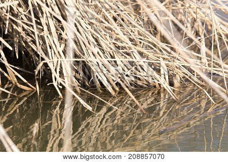 the roots of reeds in the water in nature