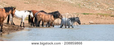 Young Blue Roan Stallion Wading In The Waterhole With Herd Of Wild Horses In The Pryor Mountains Wil