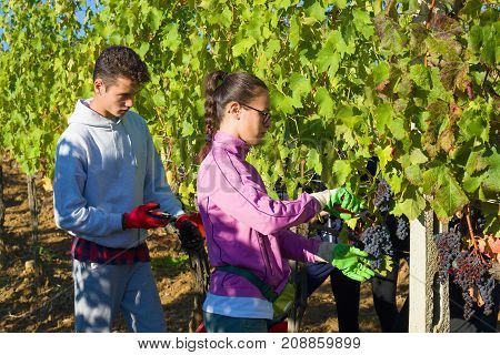 TUSCANY, ITALY-SEPTEMBER 21, 2017: A young man and a girl gather grapes in a vineyard. Harvesting in Tuscany