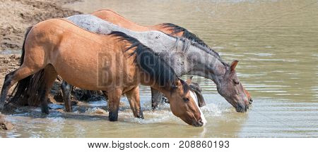 Dun Bucksin Mare Drinking Water With Herd (small Band) Of Wild Horses At The Waterhole In The Pryor
