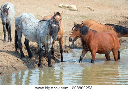 Blue Roan Stallion With Herd Of Wild Horses At The Waterhole In The Pryor Mountains Wild Horse Range