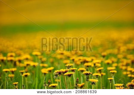 Beautiful field of dandelions intentionally blurred photographed in summer