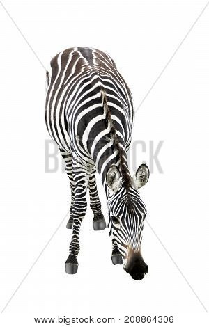 African zebra close up isolated on white background