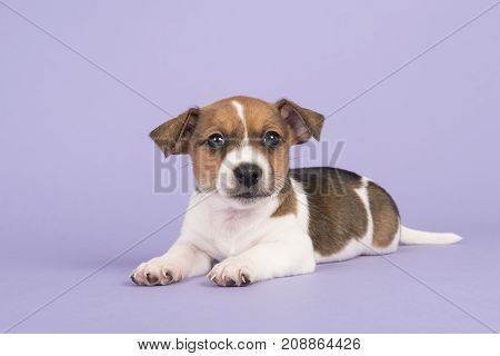 Cute jack russel terrier puppy looking at the camera lying down on a purple background