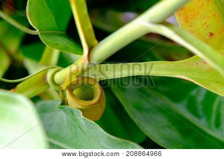 the Nepenthes trees are grown in pots