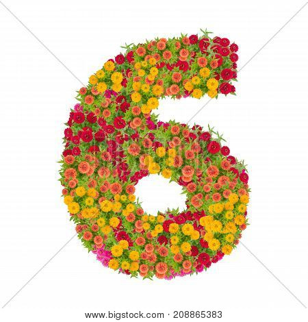 number 6 made from Zinnias flowers isolated on white background.Colorful zinnia flower put together in number six shape with clipping path